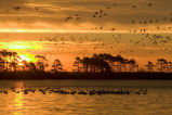 Mixed flock of waterfowl fly at Chinocoteague