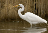Great egret catches fish