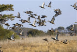 Flock of waterfowl fly from wetland at Chincoteague