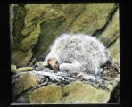 California condor chick