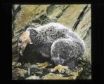 Young California condor
