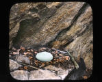 California condor egg