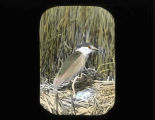 Black-crowed Night-Heron