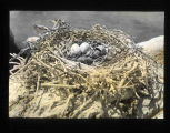 Double-Crested Cormorant nest site