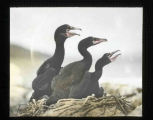 Young Double-crested Cormorants