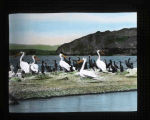 "White pelicans and double-crested cormorants close-up cat ""Pelican Island"" in Tule Lake"