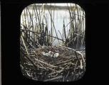 Nest site in Klamath Marsh