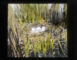 Klamath Marsh nest site