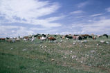 Over-grazed cattle pasture