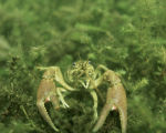 Crayfish- close-up underwater