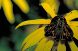 Fiery skipper on Black-eyed susan