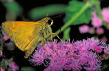 European skipper butterfly on Mistflower