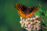 Great spangled fritillary on Common milkweed