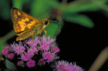 Peck's skipper on Mistflower