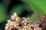 Edward's Hairstreak butterfly