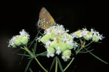 Olive hairstreak butterfly on Mountain mint