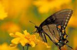 Tiger swallowtail on Lance-leaf coreopsis