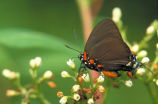 Great purple hairstreak on Common dogbane