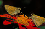 Leonard's skipper butterfly on Mexican sunflower