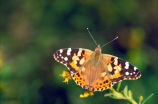 Painted lady on Goldenrod