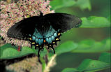 Spicebush swallowtail on Common milkweed
