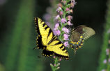 Tiger swallowtail on Dense blazingstar