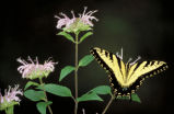 Tiger Swallowtail on Bergamot