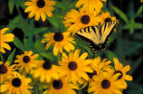 Tiger swallowtail on Black-eyed susan
