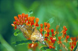 Varigated fritillary on Butterfly weed