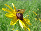 Delaware Skipper on Black-eyed Susan