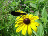 Ebony Jewelwing on Black-eyed Susan