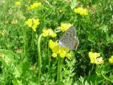 Gray Copper on Birdsfoot Trefoil