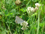 Gray Copper on White Clover