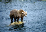 Brown bear on rock in river