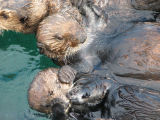 Sea Otters in capture pens