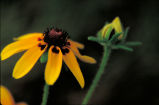 Clasping-leaf Coneflower