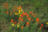 Prairie Paintbrush