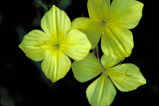 Four-point Evening Primrose