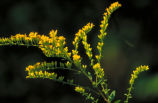 Short's Goldenrod