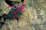 David's Penstemon