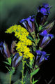 Prairie gentian and Grey goldenrod