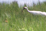 Whooping crane feeding a chick