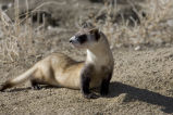 Black-footed Ferret (captive)