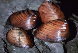 Clubshell mussel
