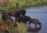 Bison near a river.