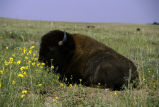 Bison eating grass in a field