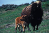 Female bison with a calf