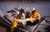 Captured pallid sturgeon