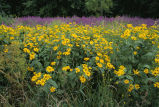 Wildflowers and invasive in National Wildlife Refuge