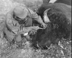 Bert Babero taking specimen from Bison
